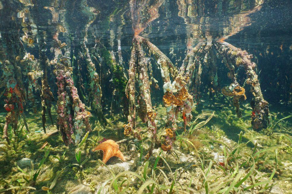 Raíces de los mangles y especies que viven en ellas - Foto Damocean