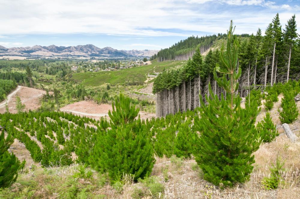 Bosque con árboles jóvenes plantados - Foto georgeclerk/Gettyimages