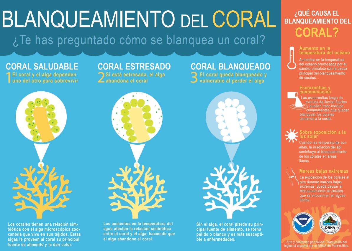 ¿Cómo ocurre el blanqueamiento de corales? - Gráfica NOAA