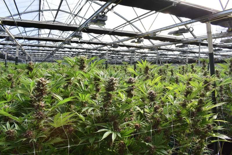 La producción de cannabis es alta en contaminación
