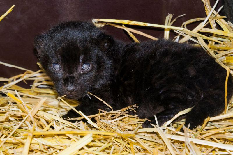 Nace jaguar negro después de 7 años de intento de reproducción