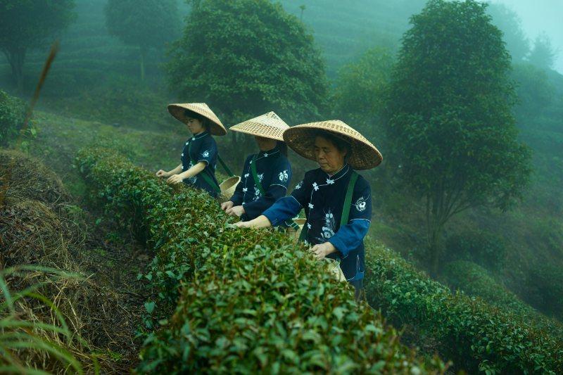 La producción del té está en riesgo por el calentamiento global