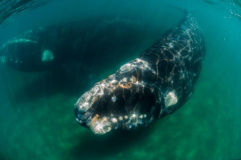 Ballenas francas del Atlántico Norte se están encogiendo