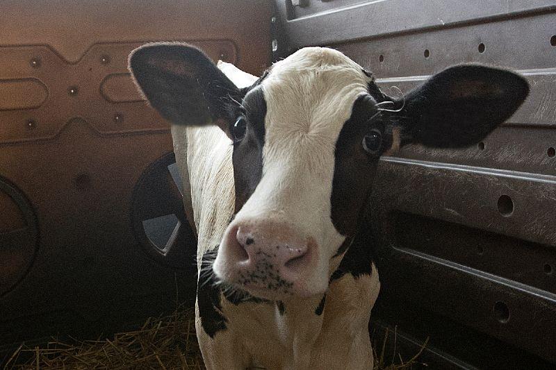 Bacterias en el estómago de las vacas podría descomponer plástico