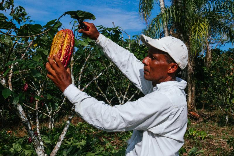 Se necesita un sistema más sostenible para la producción de cacao.