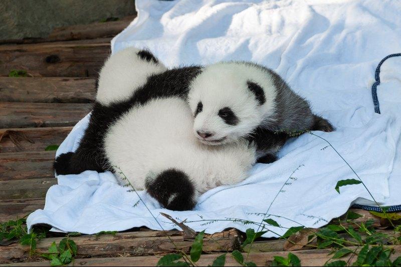 El panda gigante ha salido de la lista de especies en peligro de extinción