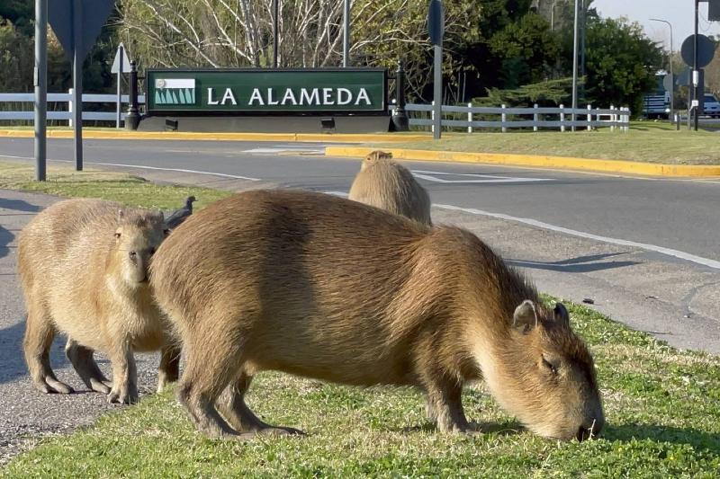 400 capibaras invaden zona urbana de Argentina
