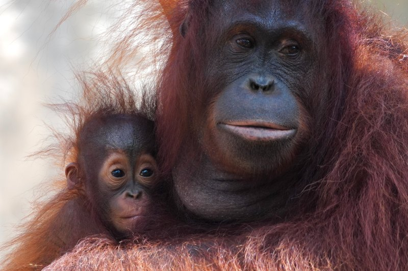 La falta de alimentos en la selva de Borneo está matando de hambre a los orangutanes.