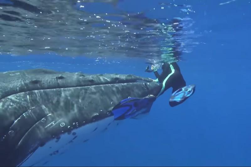Ballena jorobada protege a una buzo de un ataque de tiburón.