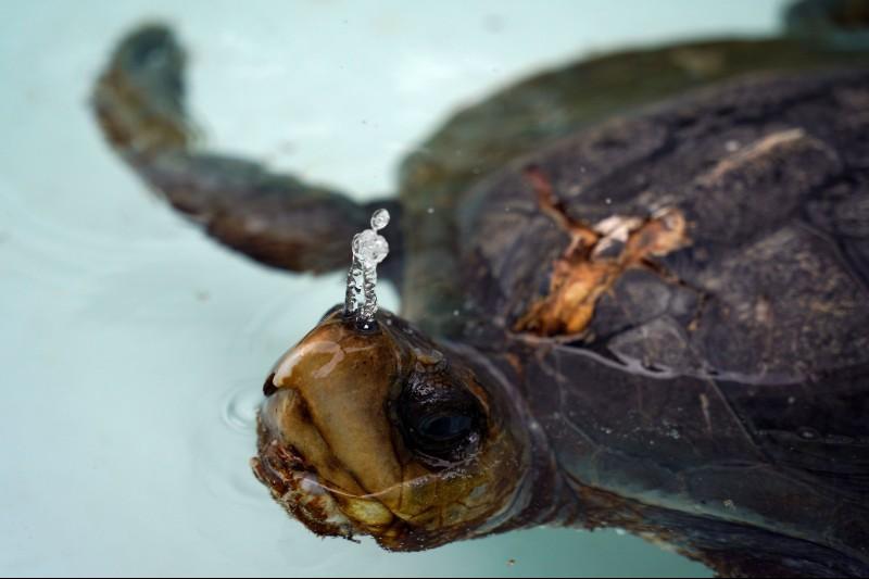 Tortugas marinas en Ecuador en rehabilitación por heridas con plástico